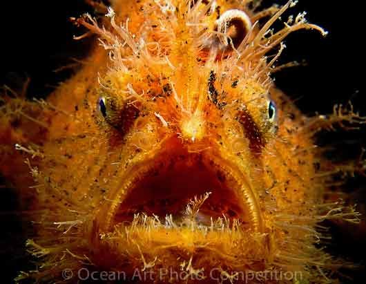 """Jackie Campbell """"Hairy Stare""""Lembeh, Indonesia ©Ocean Art Photo Competition"""